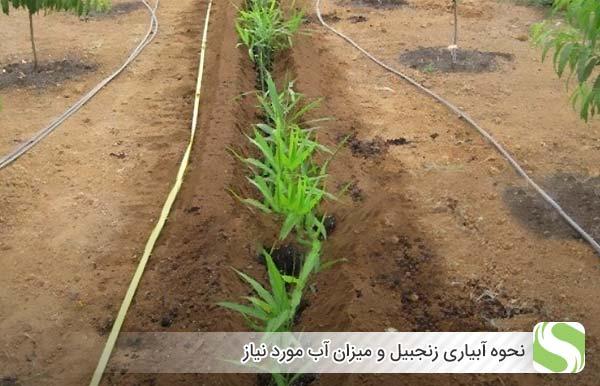 نحوه آبیاری زنجبیل و میزان آب مورد نیاز- اندیشه سبز