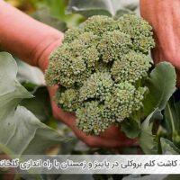 نحوه کاشت کلم بروکلی در پاییز و زمستان با راه اندازی گلخانه - اندیشه سبز