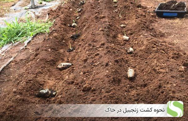 نحوه کشت زنجبیل در خاک - اندیشه سبز