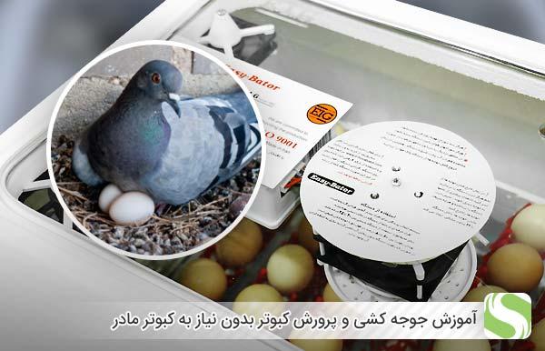 آموزش جوجه کشی و پرورش کبوتر بدون نیاز به کبوتر مادر- اندیشه سبز
