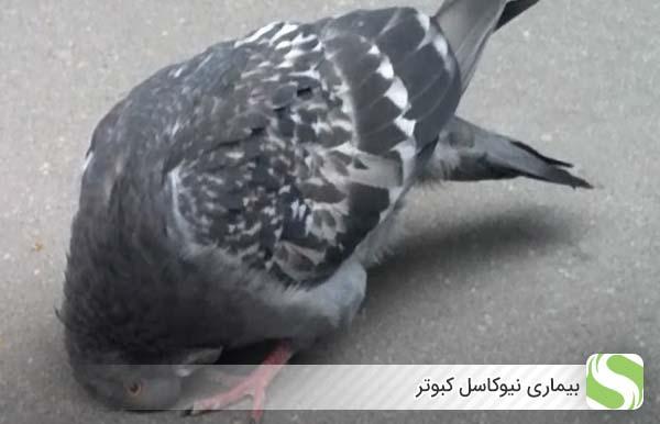 بیماری نیوکاسل کبوتر - اندیشه سبز