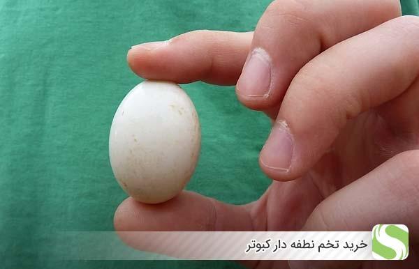 خرید تخم نطفه دار کبوتر - اندیشه سبز
