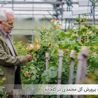 نحوه پرورش گل محمدی در گلخانه - اندیشه سبز