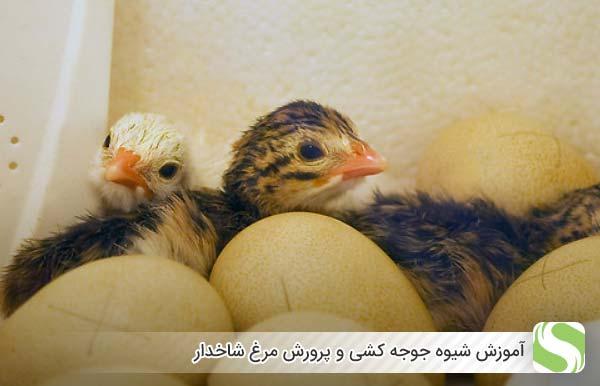 آموزش شیوه جوجه کشی و پرورش مرغ شاخدار- اندیشه سبز