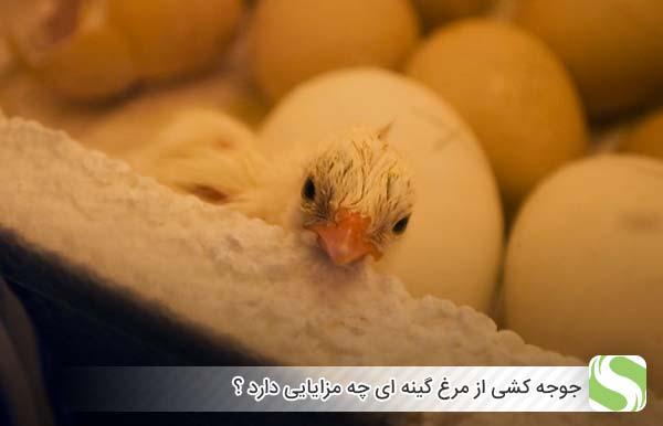جوجه کشی از مرغ گینه ای چه مزایایی دارد ؟ - اندیشه سبز