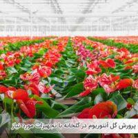 نحوه پرورش گل آنتوریوم در گلخانه با تجهیزات مورد نیاز - اندیشه سبز